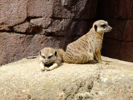 Meerkat, Animal, Zoo, Animals, Nature, Timon, Lazy