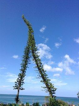 Pine, Sky, Island, Tree, New Caledonia, Poe