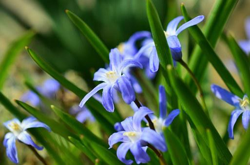 Star Hyacinth, Snow Shine, Signs Of Spring, Chionodoxa