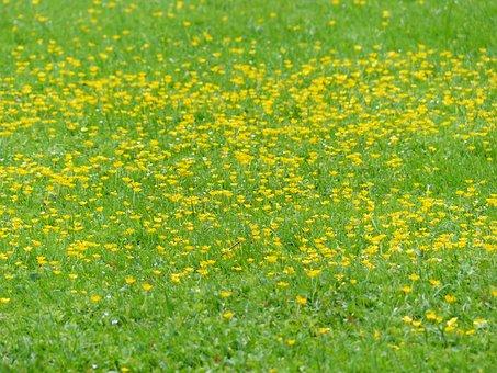 Meadow, Flowers, Lard Flowers, Green, Yellow, Spring