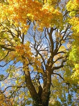 Autumn, Yellow, Orange, Maple, Tree, Tanto, Södermalm