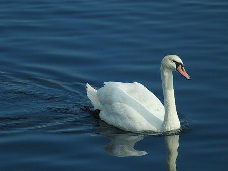 Swan, Bird, Ornithology, Water, Lake, Blue, Animal