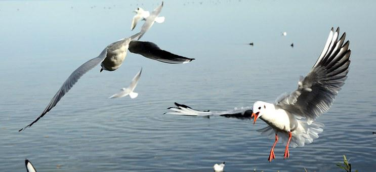 Gulls, Bird, Landing, Fly, Freedom, Sky, Lake, Feather