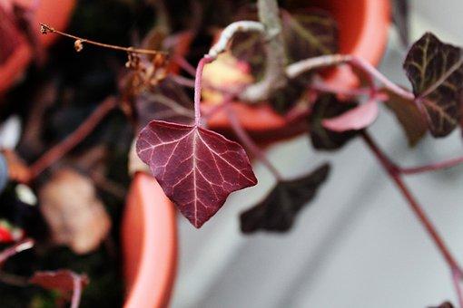 Ivy, Deep Red, Ivy Geranium, Red