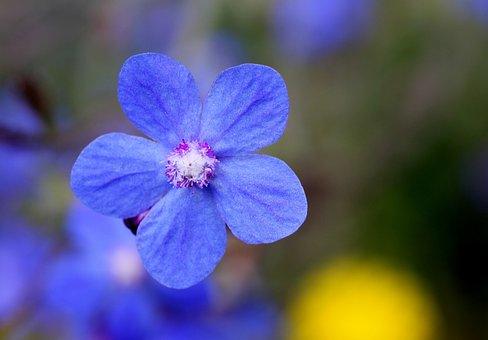 Blossom, Bloom, Blue, Wild Flower, Lipari