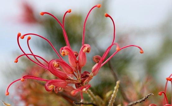 Lipari, Blossom, Bloom, Pink, Nature, Exotic