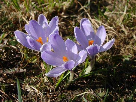 Krokus, Spring, Violet, Blooming, Purple, Flower