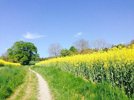 Field Of Rapeseeds, Oilseed Rape, Lane, Field, Tree