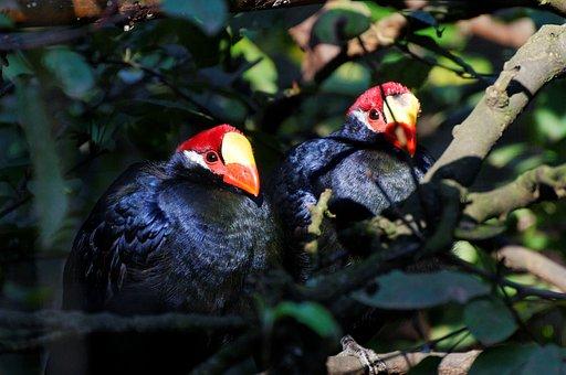 Shield Musophagidae, Birds, Enclosure, Animal, Zoo