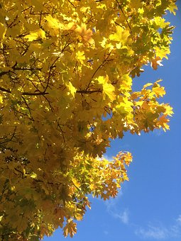 Foliage, Autumn, Autumn Gold, Yellow Leaves, Collapse