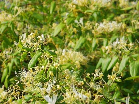 Honeysuckle, Vine, Flower, Blossom, Bloom, Garden