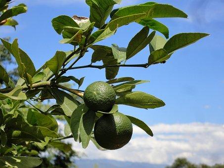 Limone, Lemon, Frisch, Plant, Wild, Finca, Vitamins