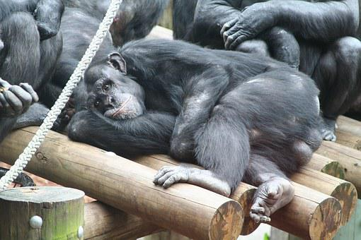 Monkey, Ape, Zoo, Rest, Relax, Animal, Chill Out
