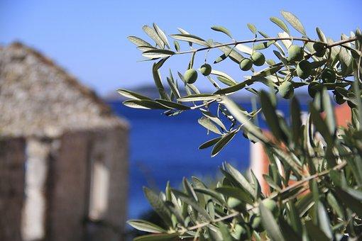 Olives, Croatia, Sea, Mediterranean, Plant, Dalmatia