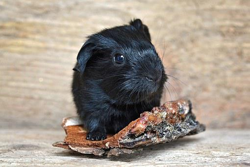 Guinea Pig, Baby Guinea Pigs, Newborn, Smooth Hair