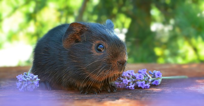 Guinea Pig, Smooth Hair, Baby Guinea Pigs, Young Animal