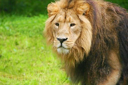 Lion, Zoo, Chesterzoo, Chester Zoo, Zoo Animals, Animal