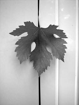 Leaf, Screw, Vineyard, Grapes, Grapery, Agriculture
