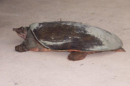 Turtle, Nature, Florida Turtles, Softshell