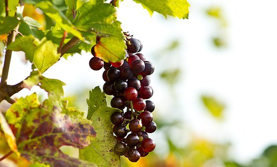 Grapes, Wine, Screw, Vineyard, Agriculture, Screws