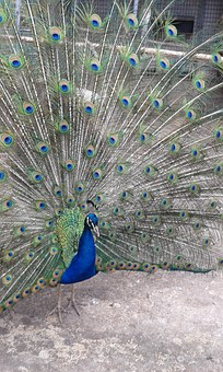 Peacock, Bird, Feathers, Tail, Plumage