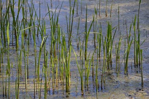Pond, Schilff, Water, Lake, Nature, Landscape