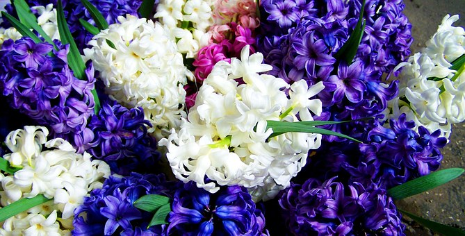 Hyacinths, Mixed Colors, Blue And White, Spring