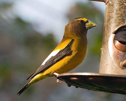 Feeder, Bird, Perches, Evening, An, Grosbeak, Birds