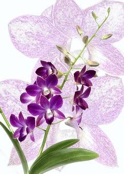 Orchid, Dendrobium, Purple, Blossom, Bloom, Close