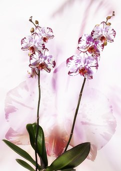 Orchid, Phalaenopsis, Red White, Speckled