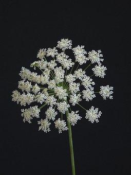Flower, Umbellifer, White, Nature, Plant