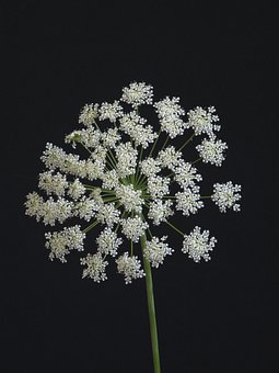 Flower, Umbellifer, White, Nature, Plant