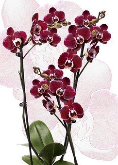 Orchid, Phalaenopsis, Red, Phalaenopsis Orchid, Flower