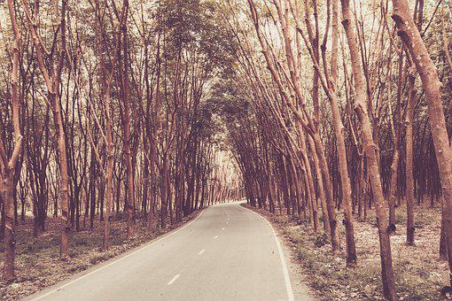 Rubber Tree, Rubber Tapping, The Wild Rubber