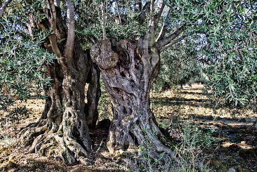 Olive Tree, More Olive, The Old Tree, Olives