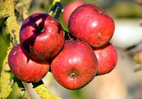 Apple, Apple Tree, Fruit, Tree, Nature, Red, Autumn