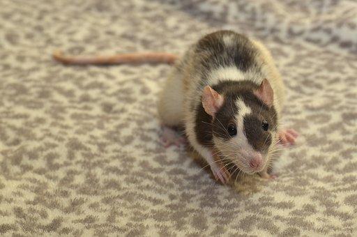 Rat, Color Rat, Rodent, Animal, Mammal, Fur, Cute, Hair