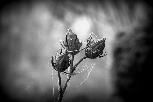 Bud, Hibiscus, Hibiscus Bud, Hoarfrost, Cold, Winter