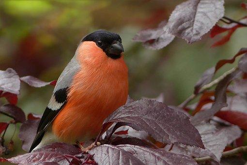 Bullfinch, Bird, Sitting, Tree, Garden