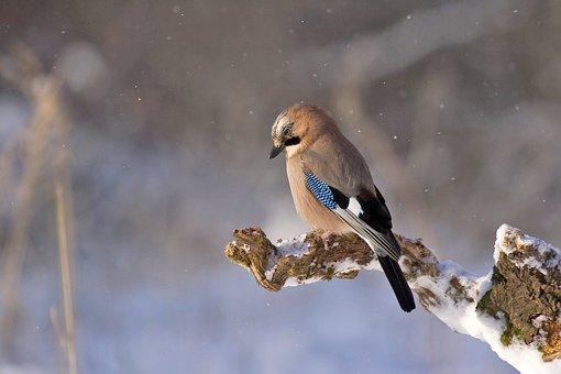 Jay, Bird, Konar, Winter