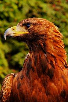 Eagle, Bird, Predator, Detail, Beak