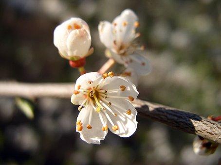 Blossom, Bloom, White, Flower, Flowering Shrub