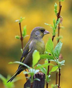 Greenfinch, Song Bird, Garden Bird, Bird, Colours