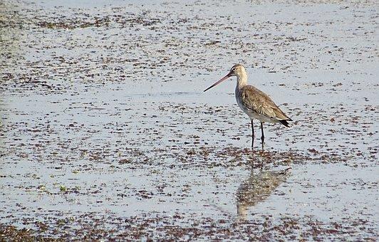 Bird, Black-tailed Godwit, Limosa Limosa, Long-legged