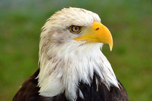 Bald Eagle, Adler, Nature, Bird Of Prey, Raptor, Bill