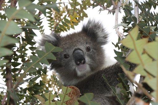 Australia, Koala, Wildlife, Animal, Marsupial, Cute