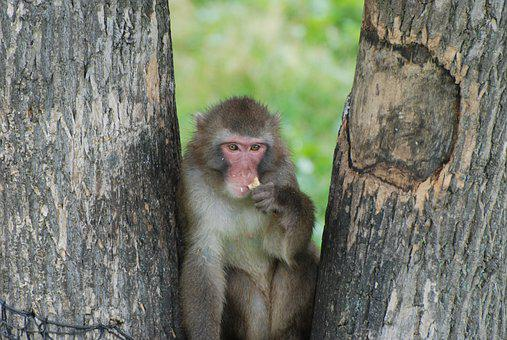 Monkey, Macaque, Animal, Tree, Primate, Forest, Mammal