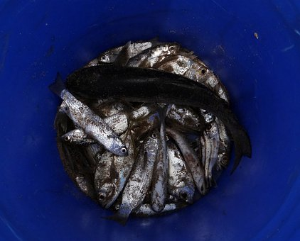 Fish, Drying, Indian Oil Sardine, Sardinella Longiceps
