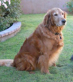 Dog, Golden Retriever, Canine, Pet, Grass, Friend