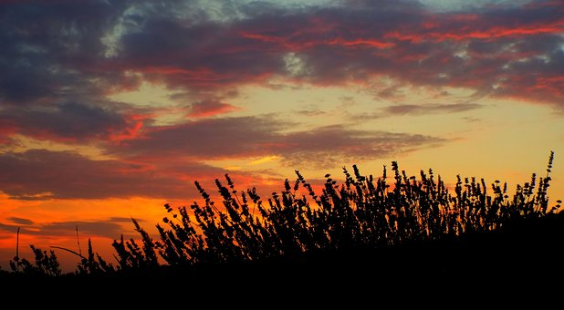 Lavender, Sunset, Red, Plant, Grass, Flowers, Fiels